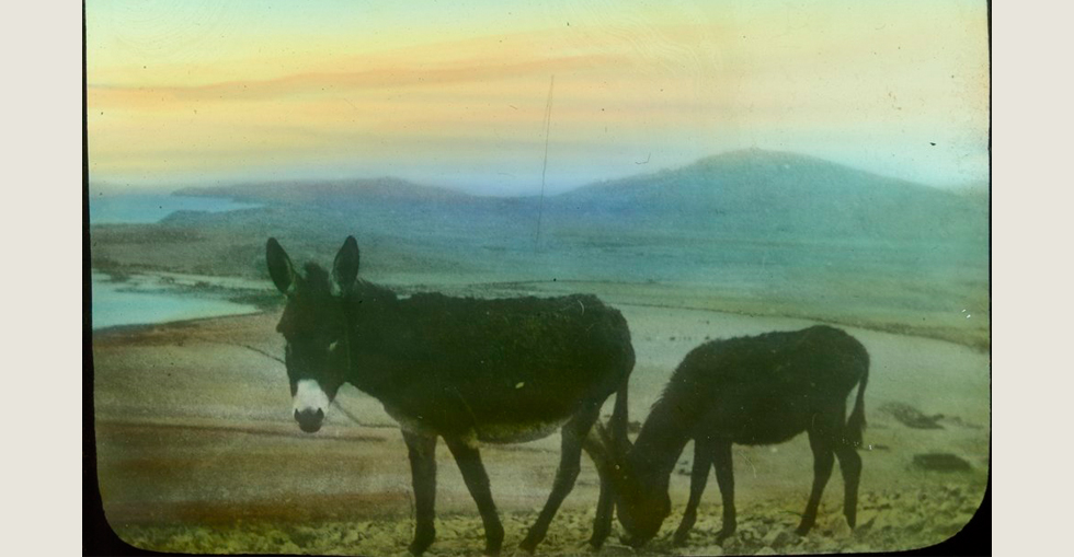 Two donkeys used for military transport, grazing in a field at Gallipoli